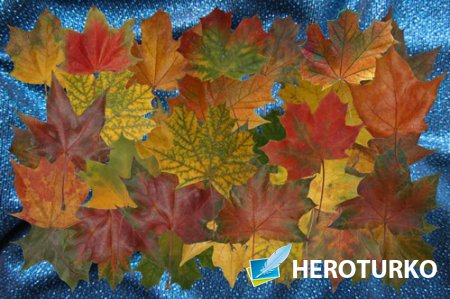 Клипарт Клипарт Осенний листопад кленовых листьев