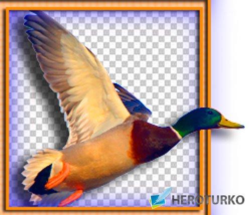 Картинки png - Домашние и дикие птицы