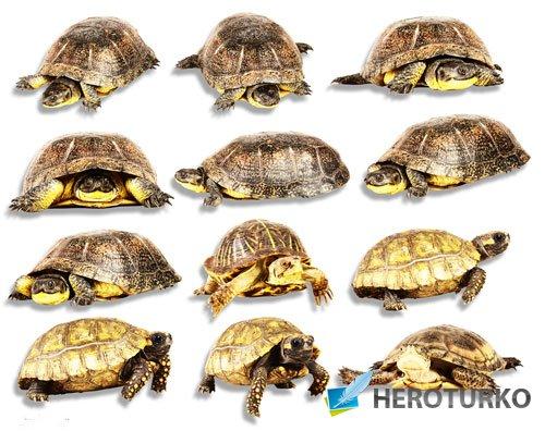 Фотошоп png - Морские и сухопутные черепахи